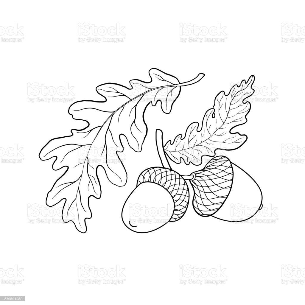 Oak Leaf And Acorn Drawing Hand Drawn Sketch Of O...