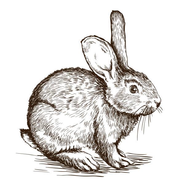handgezeichnet skizze von hase - hase stock-grafiken, -clipart, -cartoons und -symbole