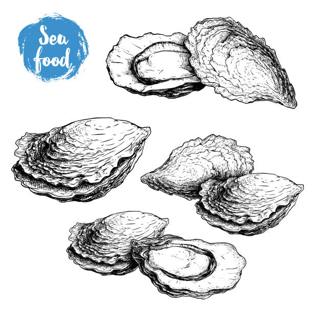 Hand drawn sketch oyster compositions set. Hand drawn illustration  of fresh seafood. Isolated on white background collection. Ideal for fish restaurant menu and sea food markets. vector art illustration