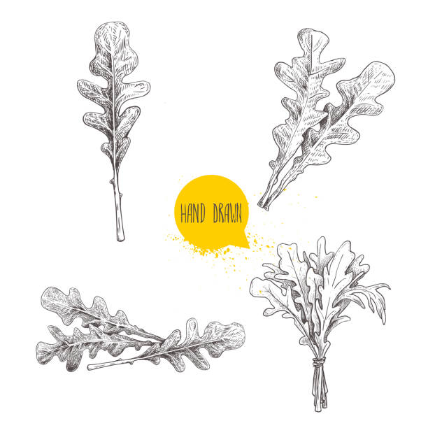 Hand drawn sketch style arugula leaves set. Single leaf and bunches. Fresh salad eco ingredient. Vector illustration isolated on white background. Hand drawn sketch style arugula leaves set. Single leaf and bunches. Fresh salad eco ingredient. Vector illustration isolated on white background. EPS10 + JPEG preview. arugula stock illustrations