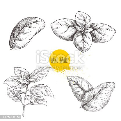 Hand drawn sketch style basil leaves set. Collection of culinary and cooking spicy ingredients. Herbal engraved style illustration isolated on white background. EPS10 + JPEG preview.