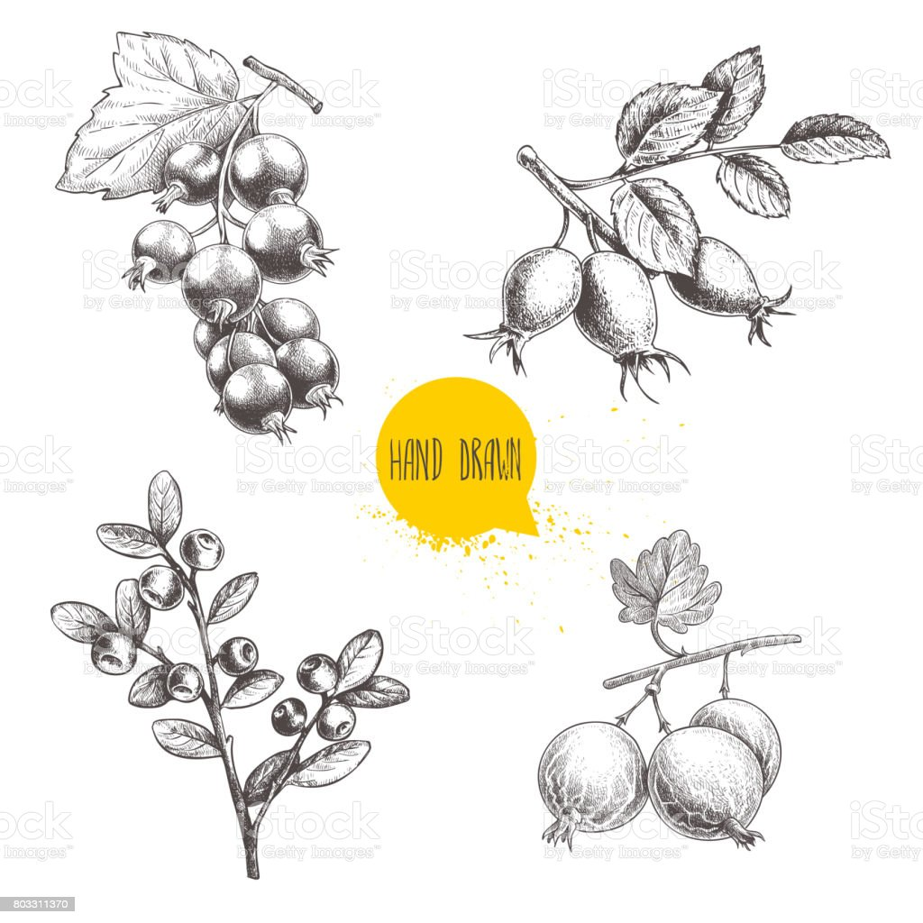 Hand drawn sketch style berry branches set. Blueberry branch, rose hip branch, black or red currant and gooseberries with sliced berry. Eco berries vector illustration isolated on white background. vector art illustration