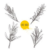 Hand drawn sketch style rosemary sketch set. Herbs and condiment collection. Culinary, cuisine, cooking and flavoring plant. Vector illustration isolated on white. EPS10 + JPEG preview.