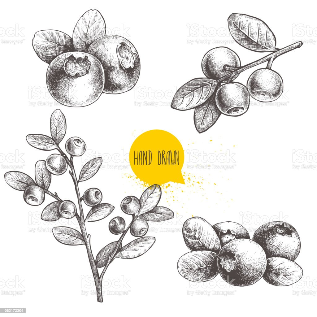 Hand drawn sketch style set of blueberries. Isolated on white background. Forest berry. vector art illustration