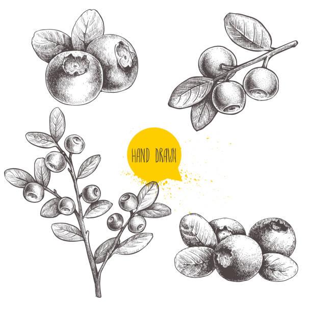 illustrazioni stock, clip art, cartoni animati e icone di tendenza di hand drawn sketch style set of blueberries. isolated on white background. forest berry. - mirtilli