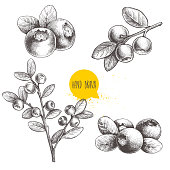 Hand drawn sketch style set of blueberries. Isolated on white background. Forest berry.