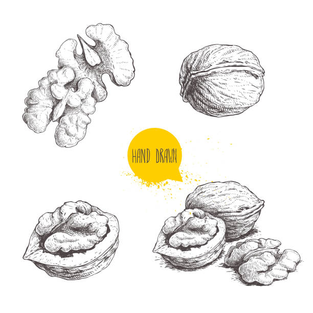 Hand drawn sketch style walnuts set.  Single whole, half and walnut seed. Eco healthy food vector illustration. Isolated on white background. Retro style. Hand drawn sketch style walnuts set.  Single whole, half and walnut seed. Eco healthy food vector illustration. Isolated on white background. Retro style. EPS10 + JPEG preview.. walnut stock illustrations