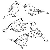 Hand drawn sparrows. Vector illustration.