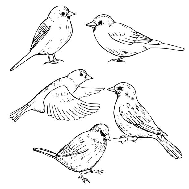 Hand drawn sparrows. Vector illustration. Hand drawn sparrows. Vector sketch  illustration. flapping wings stock illustrations