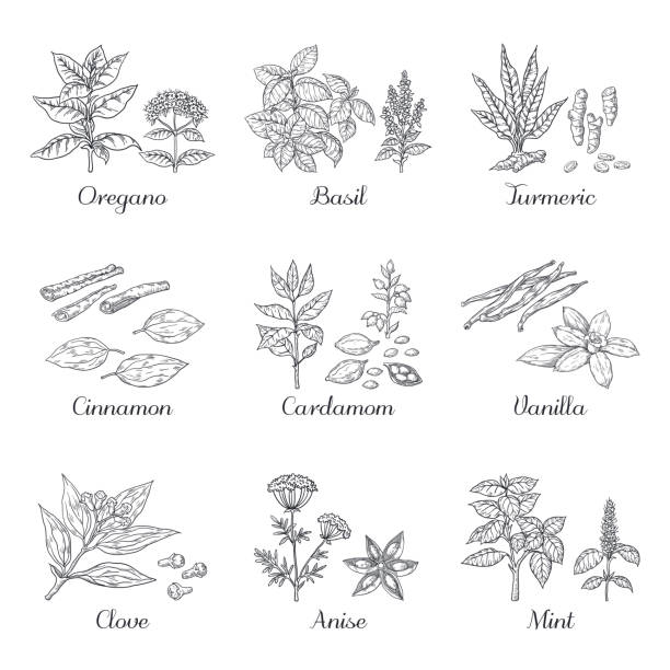 Hand drawn spices. Herbs and vegetables sketch elements, oregano turmeric cardamom basil and mint. Vector Indian food spices Hand drawn spices. Herbs and vegetables sketch elements, oregano turmeric cardamom basil and mint. Vector dried roots Indian food spices cardamom stock illustrations
