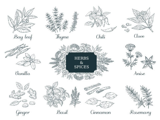 Hand drawn spices. Indian food herbs and vegetables, Italian and Asian ingredients, chili thyme and ginger vector vintage sketch Hand drawn spices. Indian food herbs and vegetables, Italian and Asian ingredients, chili thyme and ginger vector illustration vintage sketch thyme stock illustrations