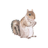 Hand drawn squirrel isolated on white background