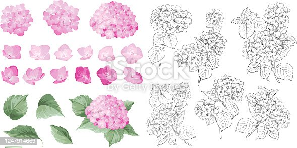 Hand drawn styleset of white hydrangea, Botanical illustration of hortensia flowers isolated on a white background. Violet hydrangea collection. Vector illustration.