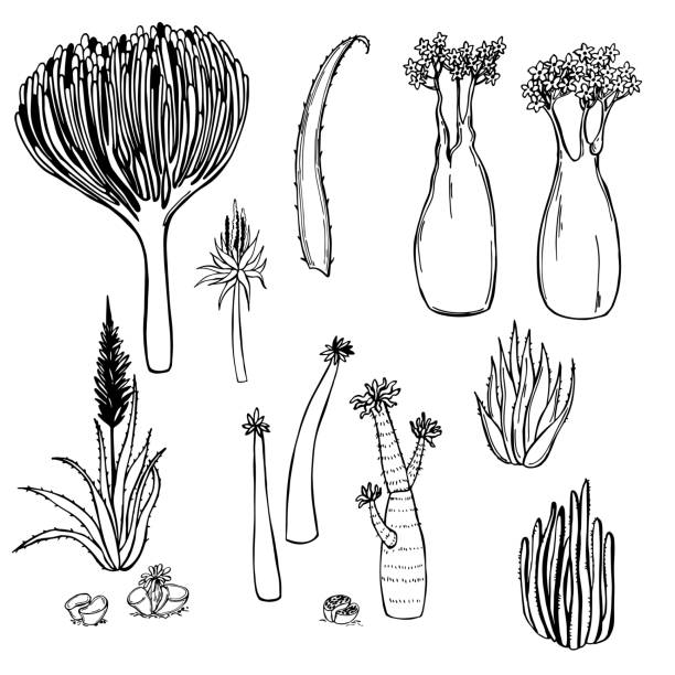 Hand drawn succulents of Africa. Vector sketch illustration. Hand drawn succulents of Africa on white background. Vector sketch illustration. south africa stock illustrations