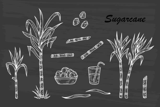 illustrazioni stock, clip art, cartoni animati e icone di tendenza di hand drawn sugar cane set. sugarcane plants, stalks, leaves, juice and sugar cubes. vector illustration - canna da zucchero