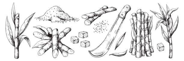 ilustrações de stock, clip art, desenhos animados e ícones de hand drawn sugar cane. sketch leaves and canes, natural organic sugar plantation, vintage sugarcane plant. vector isolated set - açúcar