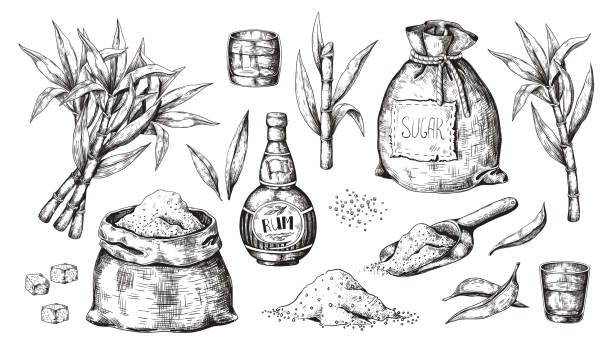 Hand drawn sugarcane and rum. Vintage liquor bottle and glasses, sugar sack and cubes, sugar organic plants. Vector alcoholic beverage vector art illustration