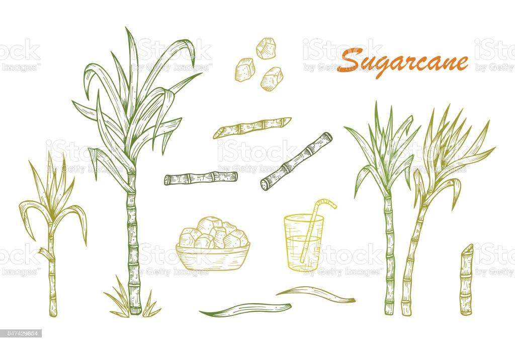 Hand drawn Sugarcane plants, Stalks, leaves, juice and sugar cubes