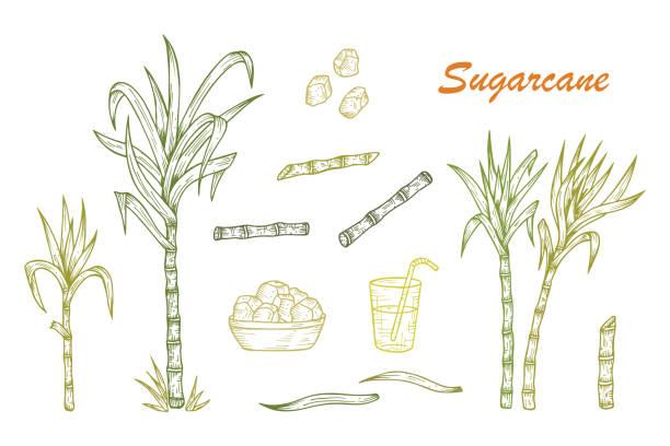illustrazioni stock, clip art, cartoni animati e icone di tendenza di hand drawn sugarcane plants, stalks, leaves, juice and sugar cubes - canna da zucchero