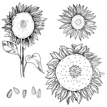 Hand drawn sunflower.  Vector illustration