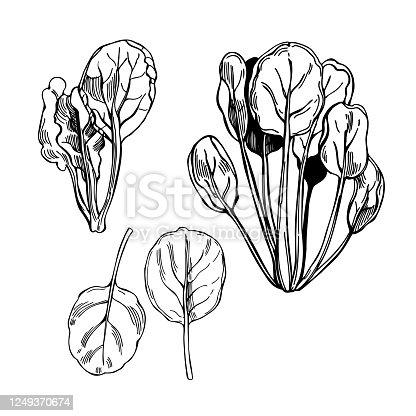 istock Hand drawn tatsoi or tat choy. Asian leaf mustard. 1249370674