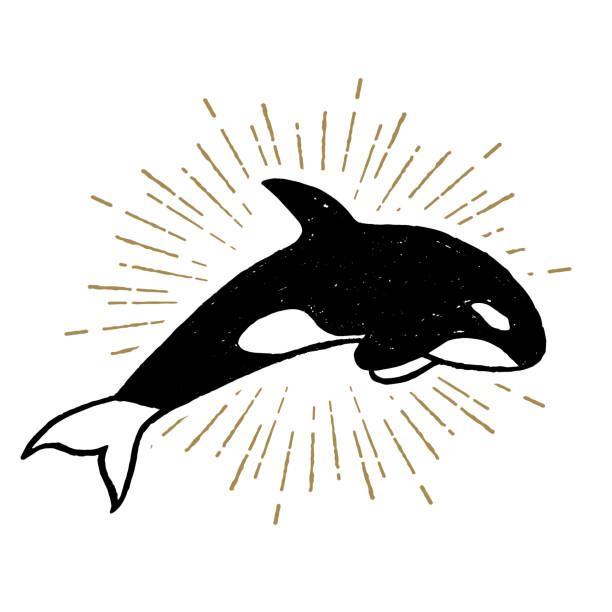 Hand drawn textured nautical retro badge with textured vector illustration. Hand drawn textured icon with killer whale vector illustration. killer whale stock illustrations