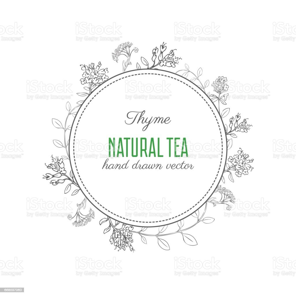 Hand Drawn Thyme Branch With Leaves Sketch Isolated On White Vector ...