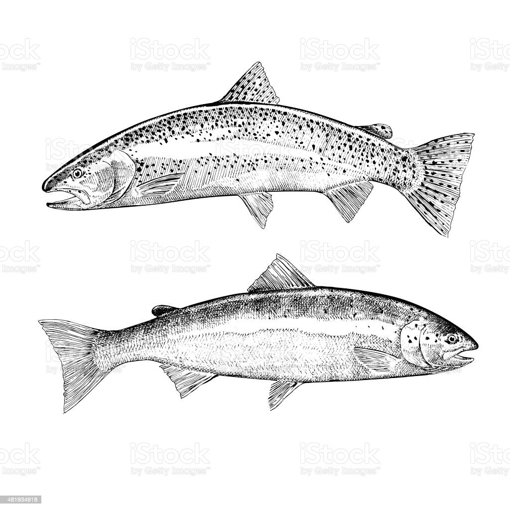 Hand Drawn Trout and Salmon vector art illustration