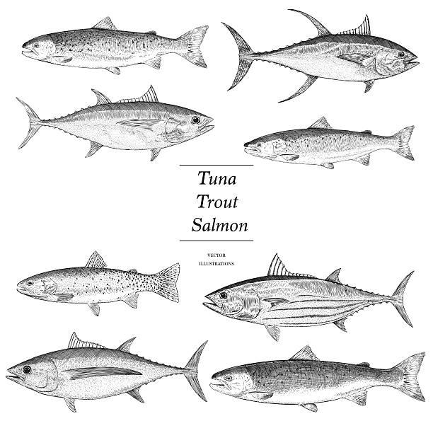 ilustraciones, imágenes clip art, dibujos animados e iconos de stock de dibujados a mano de atún, salmón y trucha - atún pescado