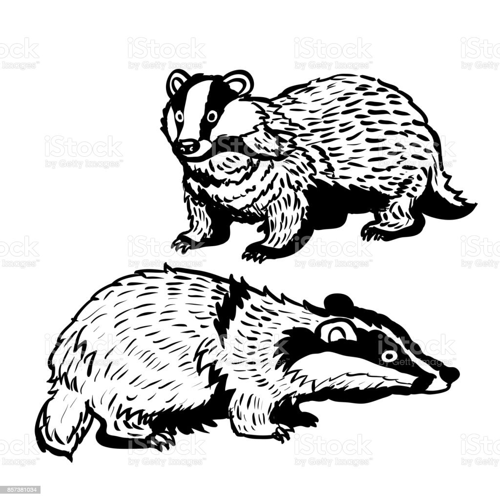 Hand drawn two Badger-Vector Illustration vector art illustration