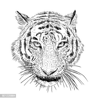 Hand drawn vector black and white artistic portrait of tiger head isolated on white background. Wild cat illustration. Ink drawing.