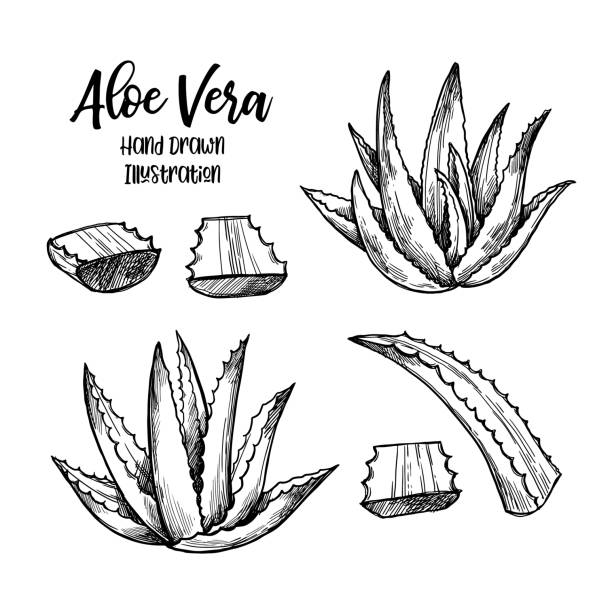 hand drawn vector illustration. aloe vera. herbal plant. clipart in sketch style. perfect for cosmetics labels, invitations, cards, leaflets etc - aloe vera stock illustrations
