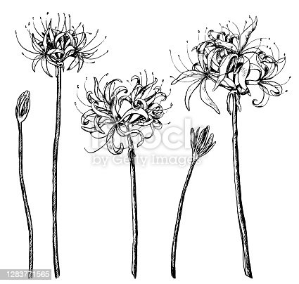 Hand drawn vector illustration. Collection of exotic plants Spider lily. Set of Lycoris flowers. Botanical realistic sketches isolated on white. Contour elements for design, typography, print, poster.