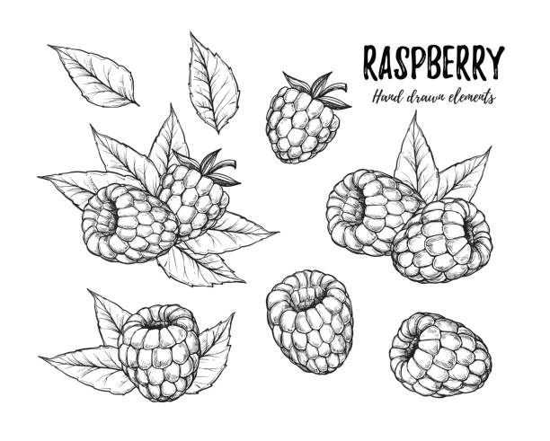ilustrações de stock, clip art, desenhos animados e ícones de hand drawn vector illustration. collection of raspberry. isolated on white background. design elements in sketch style. perfect for menu, cards, blogs, banners - framboesa