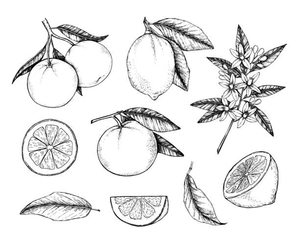 Hand drawn vector illustration - Collections of Lemons and Oranges. Branches with citrus fruits. Flowering plant with leaves. Perfect for packing, greeting cards, invitations, prints etc Hand drawn vector illustration - Collections of Lemons and Oranges. Branches with citrus fruits. Flowering plant with leaves. Perfect for packing, greeting cards, invitations, prints etc citrus fruit stock illustrations