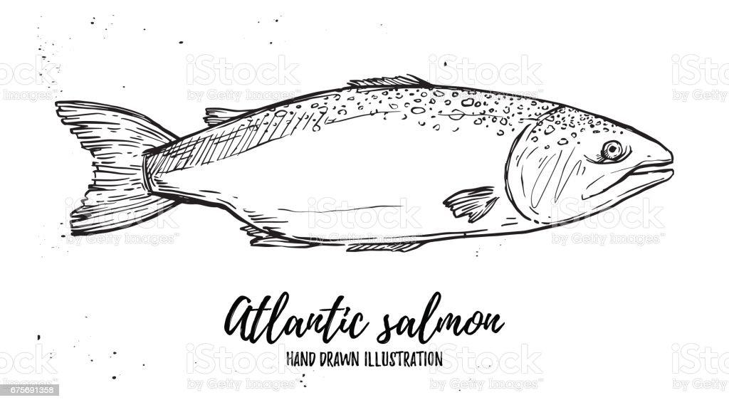 Hand drawn vector illustration - fish. Atlantic salmon. Perfect for restaurant brochure, cafe flyer, delivery menu. - ilustración de arte vectorial