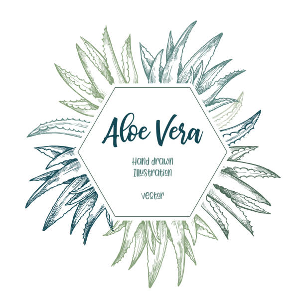 hand drawn vector illustration. label with aloe vera. herbal plant. clipart in sketch style. perfect for cosmetics labels, invitations, cards, leaflets etc - aloe vera stock illustrations