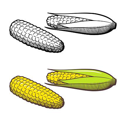 Hand drawn vector illustration of corn