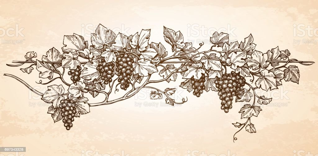 Hand drawn vector illustration of grapes.