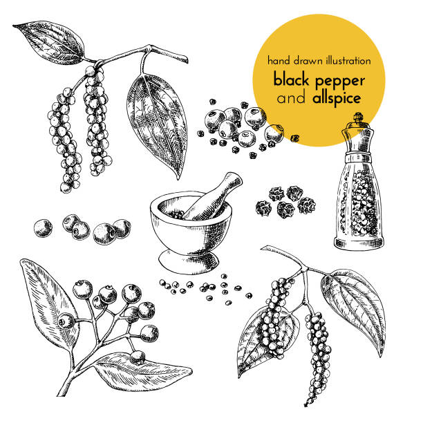 hand drawn vector illustration of herbs and spices. Vintage graphic set illustration of black pepper and allspice hand drawn vector illustration of herbs and spices. Vintage graphic set illustration of black pepper and allspice. set of fruits and herbs spices allspice stock illustrations