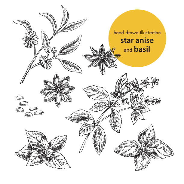 hand drawn vector illustration of herbs and spices. Vintage graphic set illustration of star anise and  basil hand drawn vector illustration of herbs and spices. Vintage graphic set illustration of anise and  basil. set of fruits and herbs spices star anise stock illustrations