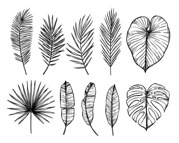 hand drawn vector illustration - palm leaves (monstera, areca palm, fan palm, banana leaves). tropical design elements. perfect for prints, posters, invitations etc - palm leaf stock illustrations, clip art, cartoons, & icons