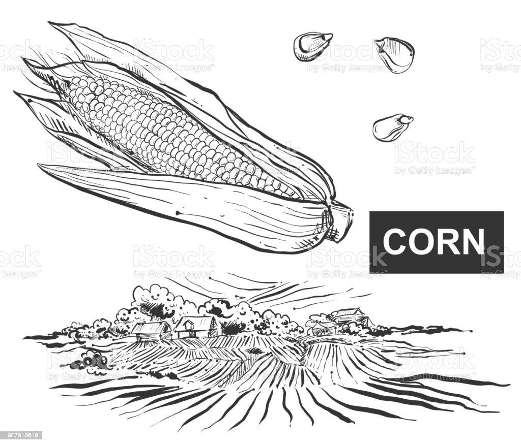 Hand Drawn Vector Illustration Set Of Black Corn Grain Farm Field Seed Diagram Kernel Sketch
