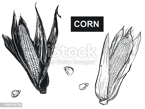 Hand drawn vector illustration set of black corn, grain, popcorn. sketch. Vector.