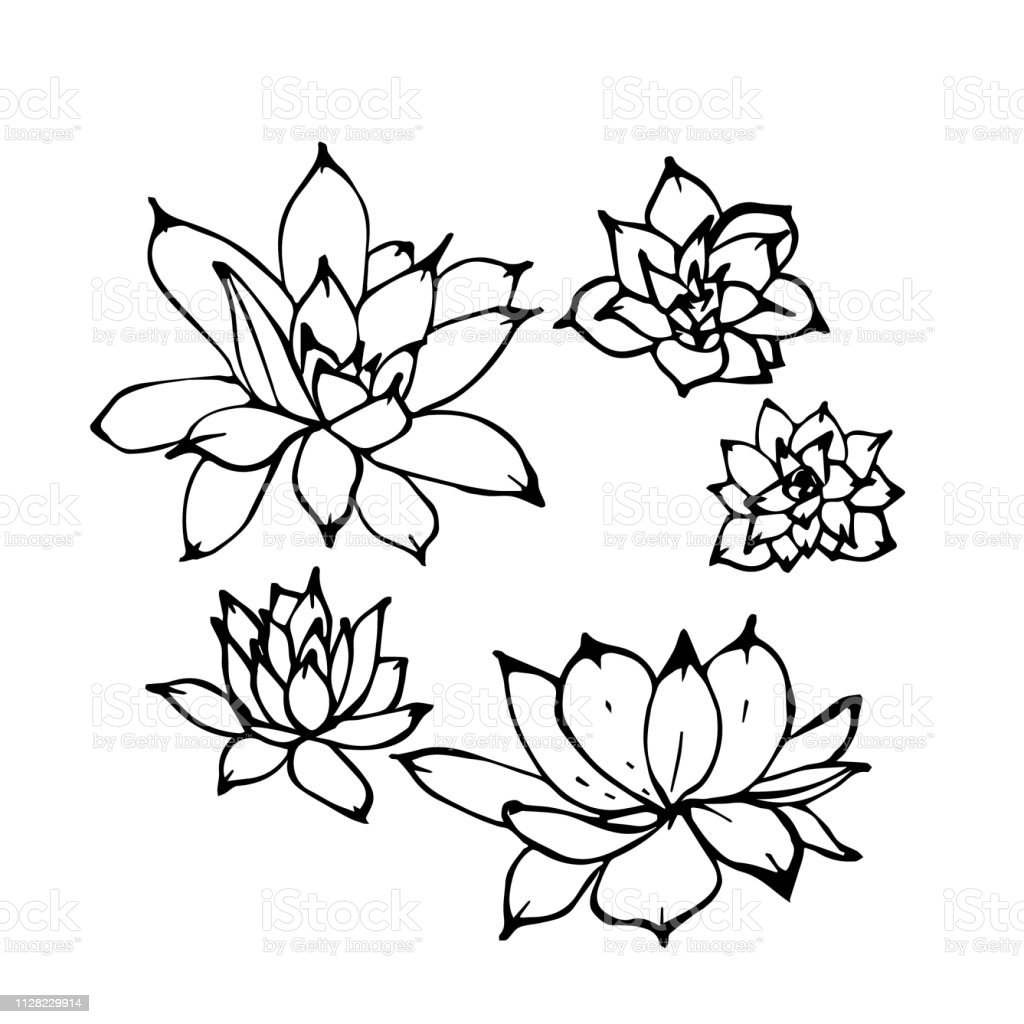 Hand Drawn Vector Illustration Set Of Echeveria Succulent Plants View From Above Linear Ink Contour Drawing Isolated On White Background Stock Illustration Download Image Now Istock