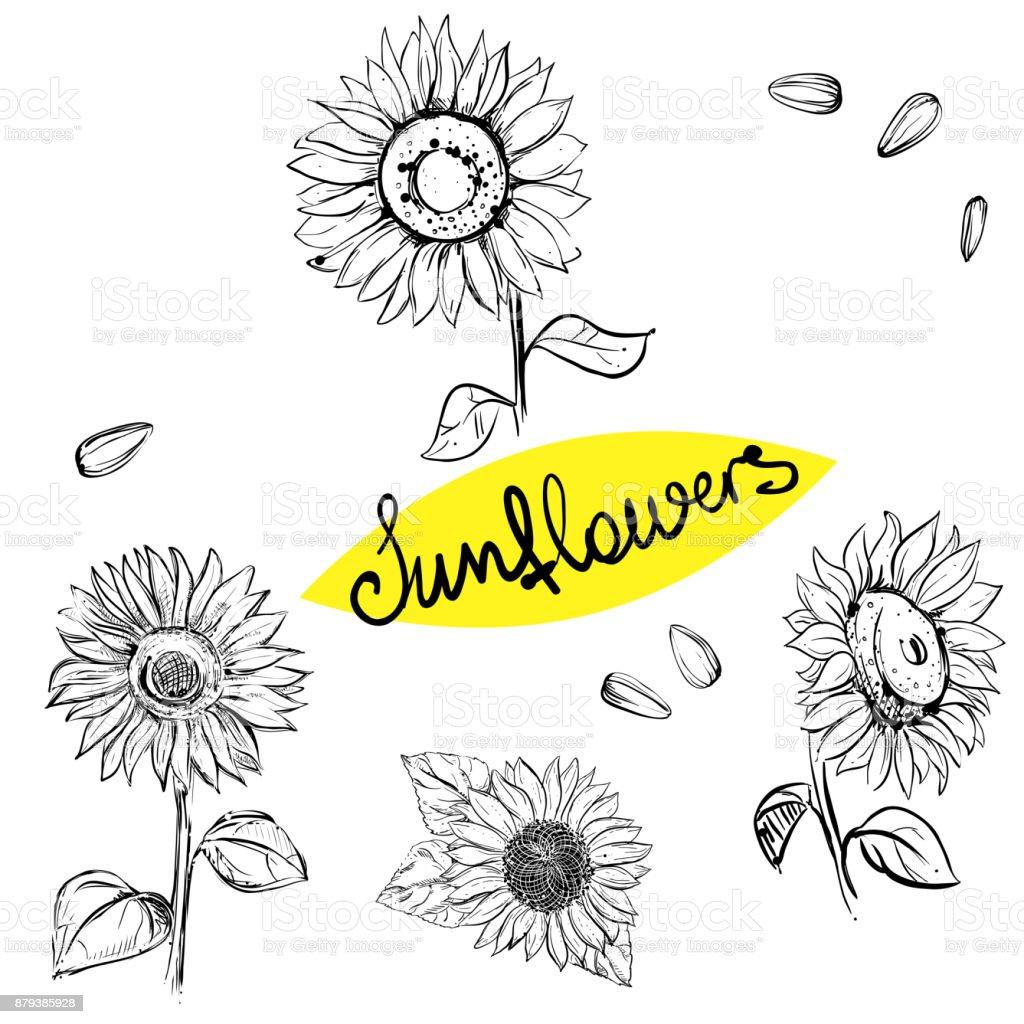 Hand drawn vector illustration set of monochrome sunflower, grain, seed. sketch. Vector eps 8