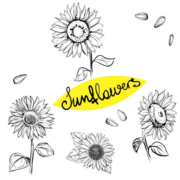 hand drawn vector illustration set of monochrome sunflower, grain, seed. sketch. vector eps 8 - sunflower stock illustrations