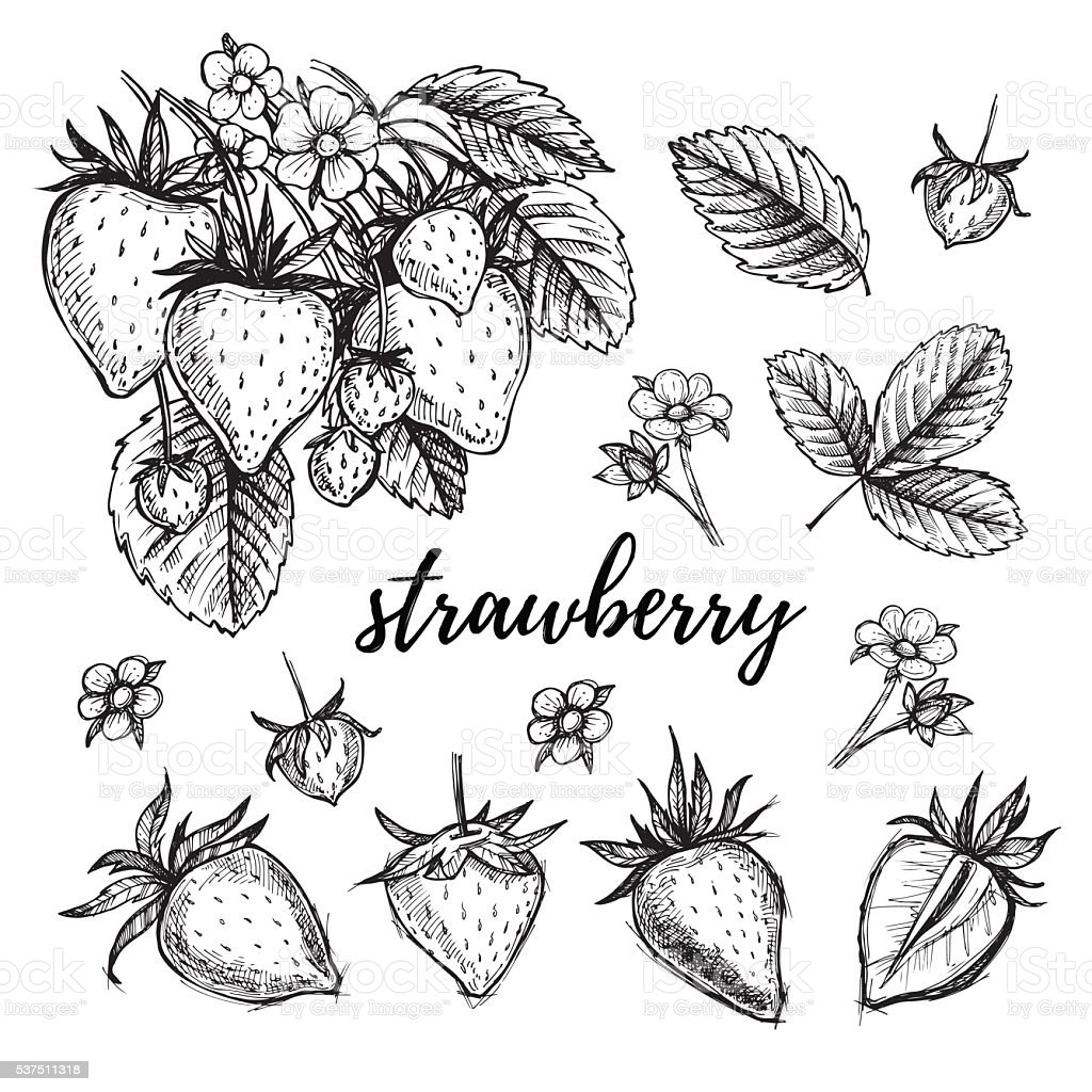 Hand drawn vector illustration - Strawberry set vector art illustration