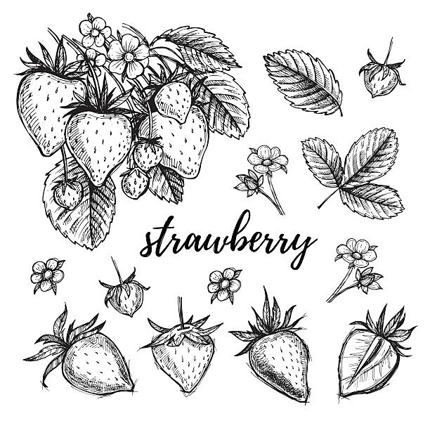 ilustrações de stock, clip art, desenhos animados e ícones de ilustração do vetor desenhada à mão conjunto de morango - morango