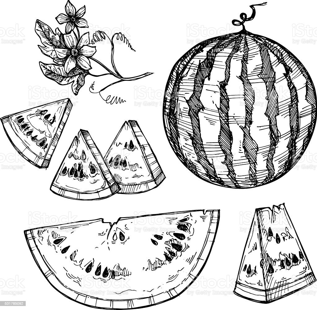 Hand drawn vector illustration - watermelon. Watermelon blossom. vector art illustration